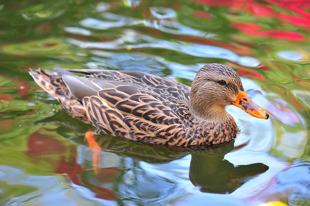 A female Mallard duck in the pond