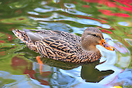 A female Mallard duck in the pond