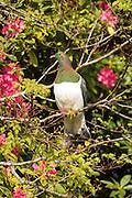 New Zealand Wood Pigeon, Stewart Island, New Zealand
