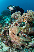 Diver and Common Day Octopus .Shot in West Papua Province, Indonesia