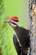 Pileated woodpecker on a lodgepole pine. Yaak Valley, northwest Montana.