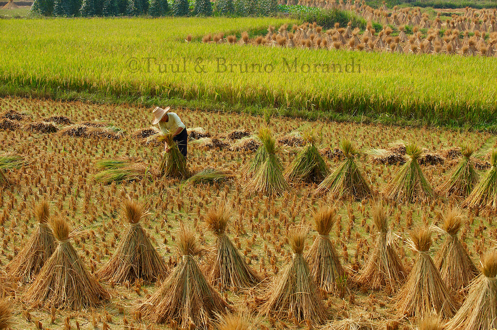 Chine, Province du Guangxi, region de Guilin, moissons dans les rizieres // China, Guangxi province, Guilin area, harvest on the rice field