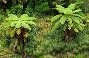 Ferns, North Island, New Zealand