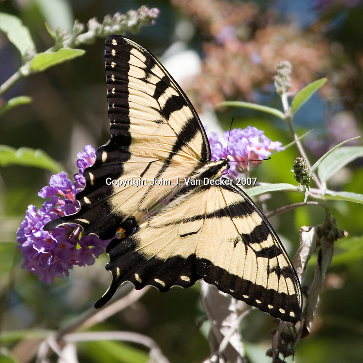Eastern Tiger Swallowtail Butterfly, Papilio, glaucus, with wings spread on lilac flower