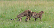 Cheetah cub playfully jumps on mother's back as she walks through grassland, Sequence 2. Phinda Game Reserve, South Africa, © 2019 David A. Ponton