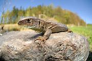 Sand lizard (Lacerta agilis) | Zauneidechse (Lacerta agilis) Weibchen
