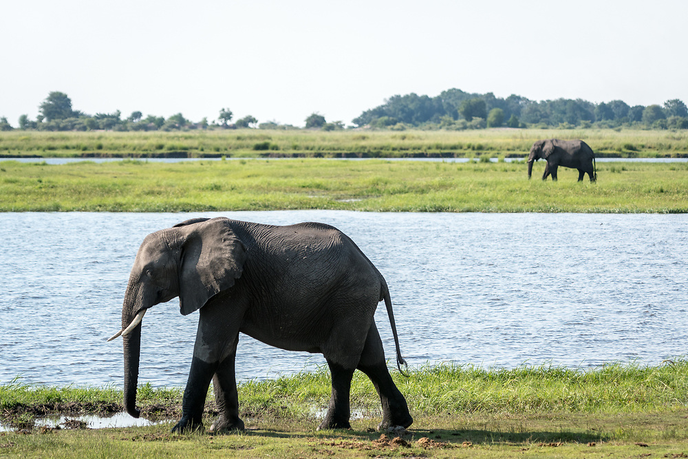 Two African bush elephants (Loxodonta africana) walk on opposite sides of large pond in wetlands, Chobe National Park - Botswana