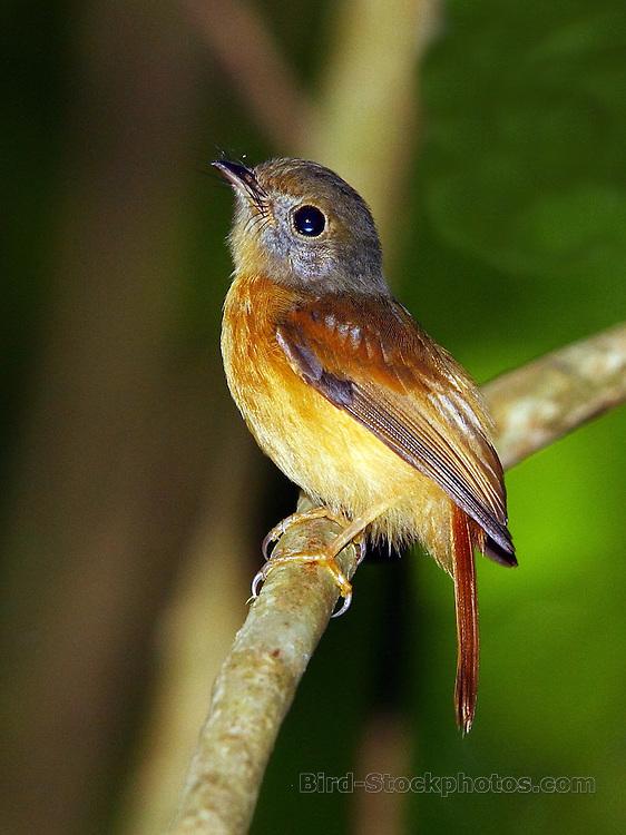 Ruddy-tailed Flycatcher, Terenotriccus erythrurus, Metro Park, Panama