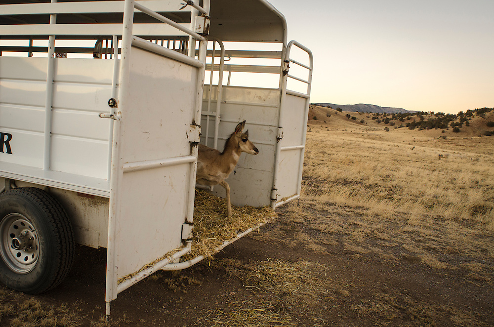 New Mexico Game and Fish Biologists gave each of the pronghorn a mild sedative to help keep the antelope calm prior to transporting them for relocation. At the release site, east of Captain, the animals cautiously exit their trailer, healthy and alert. Photo Jeremy Wade Shockley/Associated Press