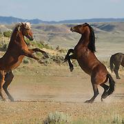 McCullough Peaks Reserve Collection<br /> © Equus ferus- Wild Horse Photography ™<br /> © Karen McLain Studio <br /> http://www.equusferus.com/<br /> http://www.karenmclain.com/