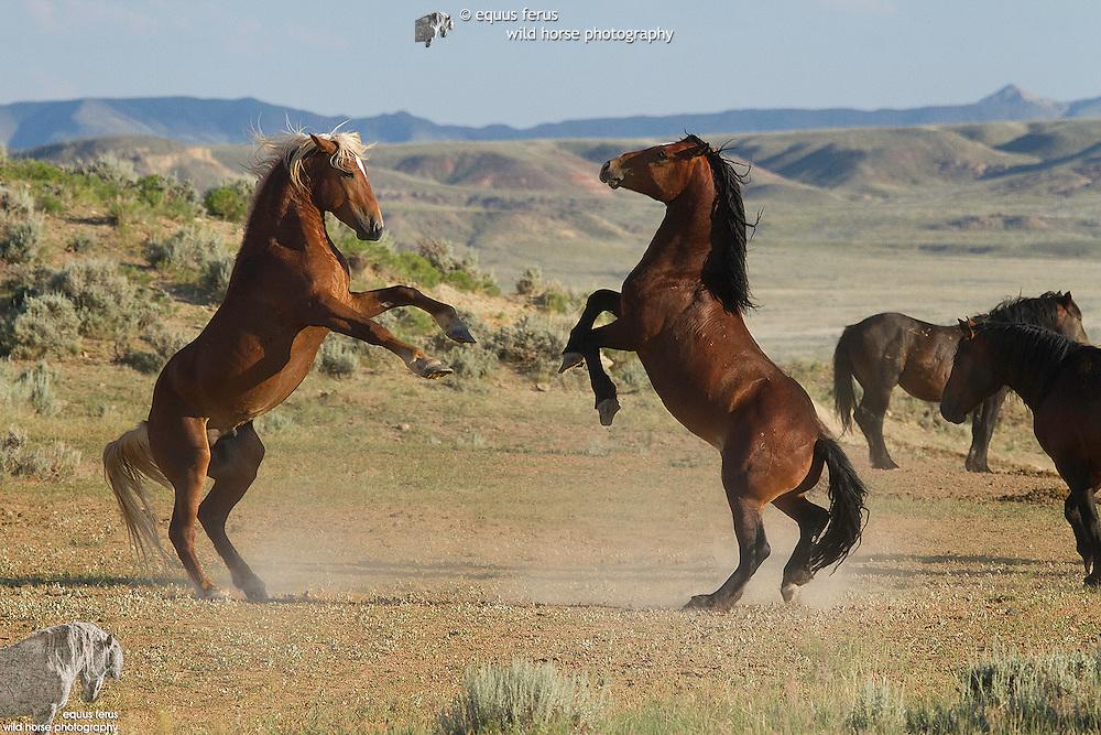 McCullough Peaks Reserve Collection<br /> &copy; Equus ferus- Wild Horse Photography &trade;<br /> &copy; Karen McLain Studio <br /> http://www.equusferus.com/<br /> http://www.karenmclain.com/