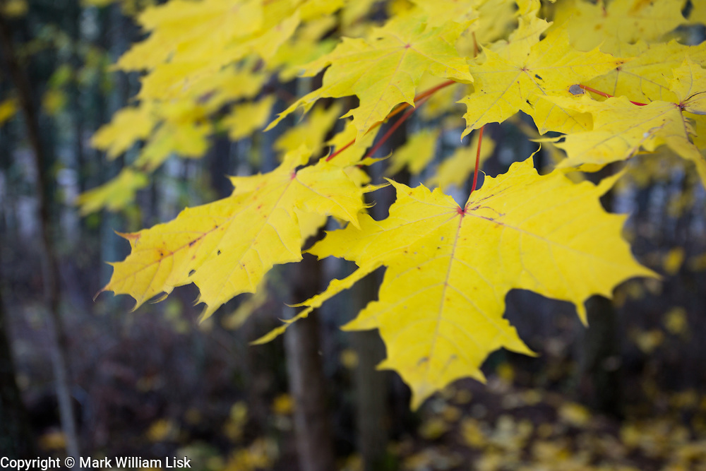 Detail of Maple leaves in Heyburn State Park.