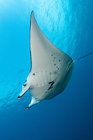 A Reef Manta glides effortlessly above<br /> <br /> <br /> Shot in Indonesia