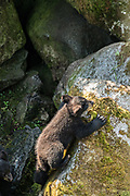 An American black bear cub explores rock outcroppings in the temperate rain forest at Anan Creek in the Tongass National Forest, Alaska. Anan Creek is one of the most prolific salmon runs in Alaska and dozens of black and brown bears gather yearly to feast on the spawning salmon.