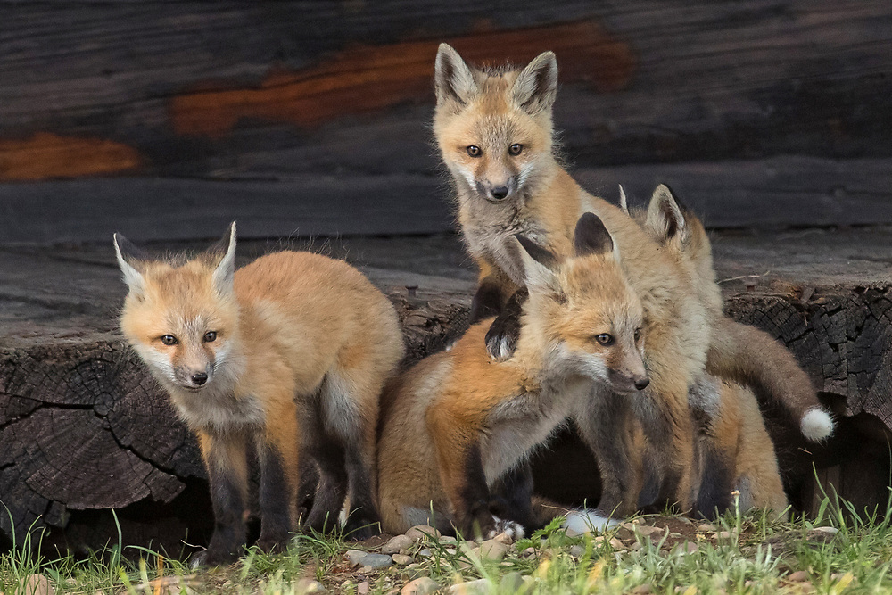These fox kits are growing fast. At this age, they spend most of the day playing and practicing their hunting skills. Within a few months, they will be off on their own and will need these skills to survive.