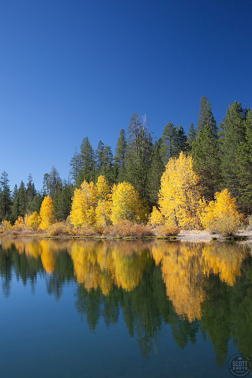 """""""Coldstream Pond in Autumn 2"""" - Photograph of yellow cottonwood trees and pine trees along the shore of Coldstream Pond in Truckee, California."""