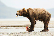 USA, Katmai National Park (AK).Brown bear (Ursus arctos) feeding on salmon