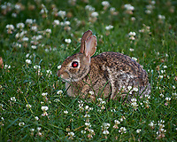 Devil rabbit with a red-eye in the clover. Late-spring backyard nature in New Jersey. Image taken with a Nikon D2xs camera and 70-200 mm f/2.8 lens + 1.4 TC-E II teleconverter and SB-800 flash (ISO 100, 280 mm, f/4, 1/60 sec)