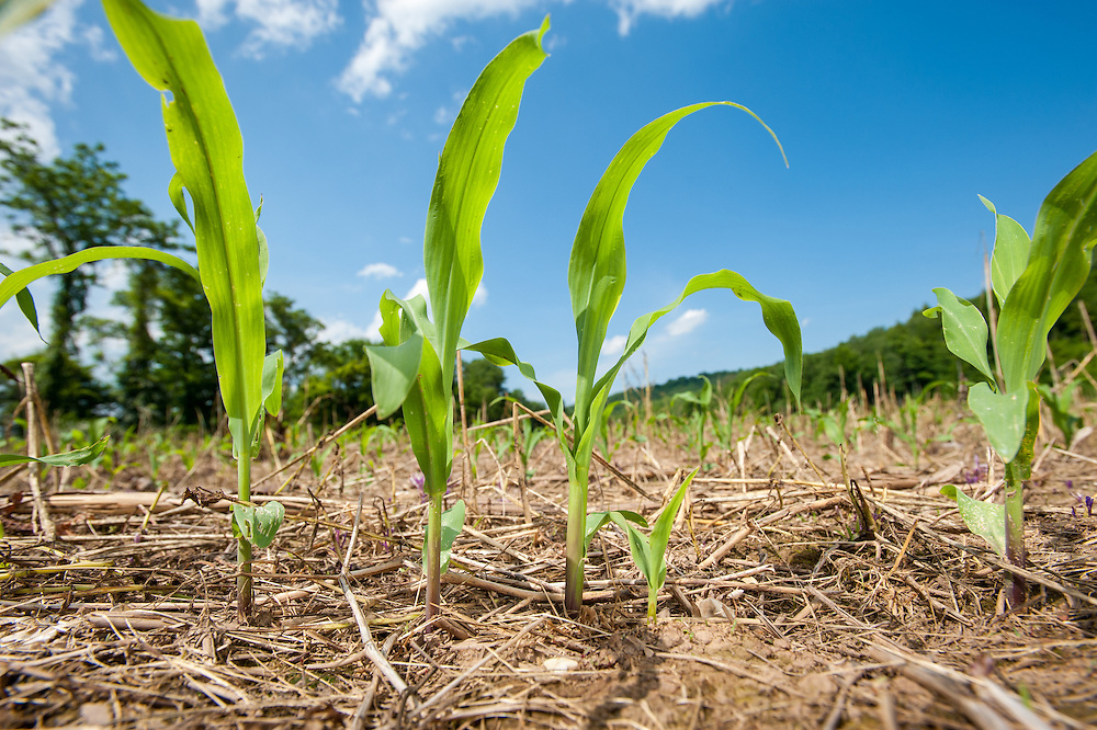 Sprouting corn in field in Honesdale, PA, USA