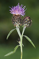 COMMON KNAPWEED Centaurea nigra (Asteraceae) Height to 1m. Downy or hairy perennial that branches towards the top of the plant. The stems are stiff and grooved and are often swollen beneath the base of the flowers. Grows in a wide range of grassy places. FLOWERS are borne in heads, 2-4cm across, with reddish purple florets and a swollen, hard base covered in brown bracts; heads are usually solitary (Jun-Sep). FRUITS do not have pappus hairs. LEAVES are narrow, those near the base of the plant are slightly lobed. STATUS-Widespread and common throughout.
