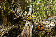 Monarch butterflies warm in the sun on a log at the Sierra Chincua Biosphere Reserve January 20, 2020 near Angangueo, Michoacan, Mexico. The monarch butterfly migration is a phenomenon across North America, where the butterflies migrates each autumn to overwintering sites in Central Mexico.