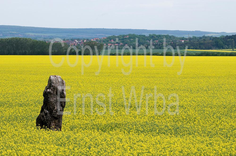 Menhir, blühendes Rapsfeld bei Benzingerode am Harznordrand, Harz, Sachsen-Anhalt, Deutschland | standing stone in field near Benzingerode, Harz, Saxony-Anhalt, Germany