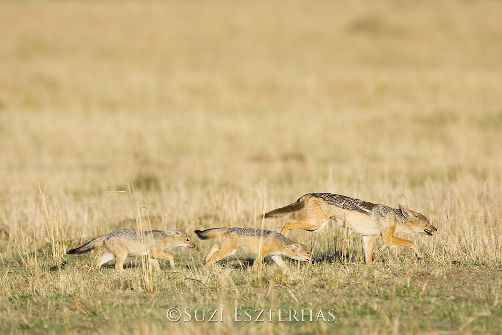 Black-backed Jackal<br /> Canis mesomelas<br /> Mother moving den locations, 8 week old pup(s) following close behind<br /> Masai Mara Triangle, Kenya