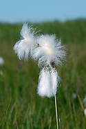 COMMON COTTONGRASS Eriophorum angustifolium (Cyperaceae) Height to 75cm. Upright perennial, distinctive when in fruit. Grows in very boggy ground with peaty, acid soils. FLOWERS are in inflorescences of drooping, stalked spikelets (Apr-May). FRUITS are dark brown with cottony hairs; fruiting heads resemble balls of cotton wool. LEAVES are dark green and narrow. STATUS-Locally common throughout.