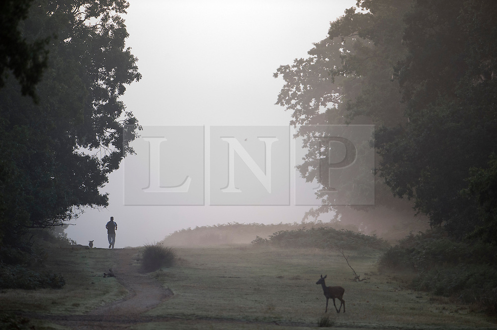 © London News Pictures. 06/10/2013. Richmond, London, UK.  A man jogging and Deer crossing a path in early morning mist at sunrise in autumn at Richmond Park, West London. The UK is experiencing an unusually warm start to the Autumn with temperatures reaching 20 degrees in parts.  Photo credit: Ben Cawthra/LNP