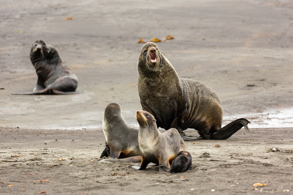 Bull Northern Fur Seal (Callorhinus ursinus) vocalizes to other males to protect his harem of females on St. Paul Island in the Pribilofs in Southwest Alaska. Summer. Afternoon.