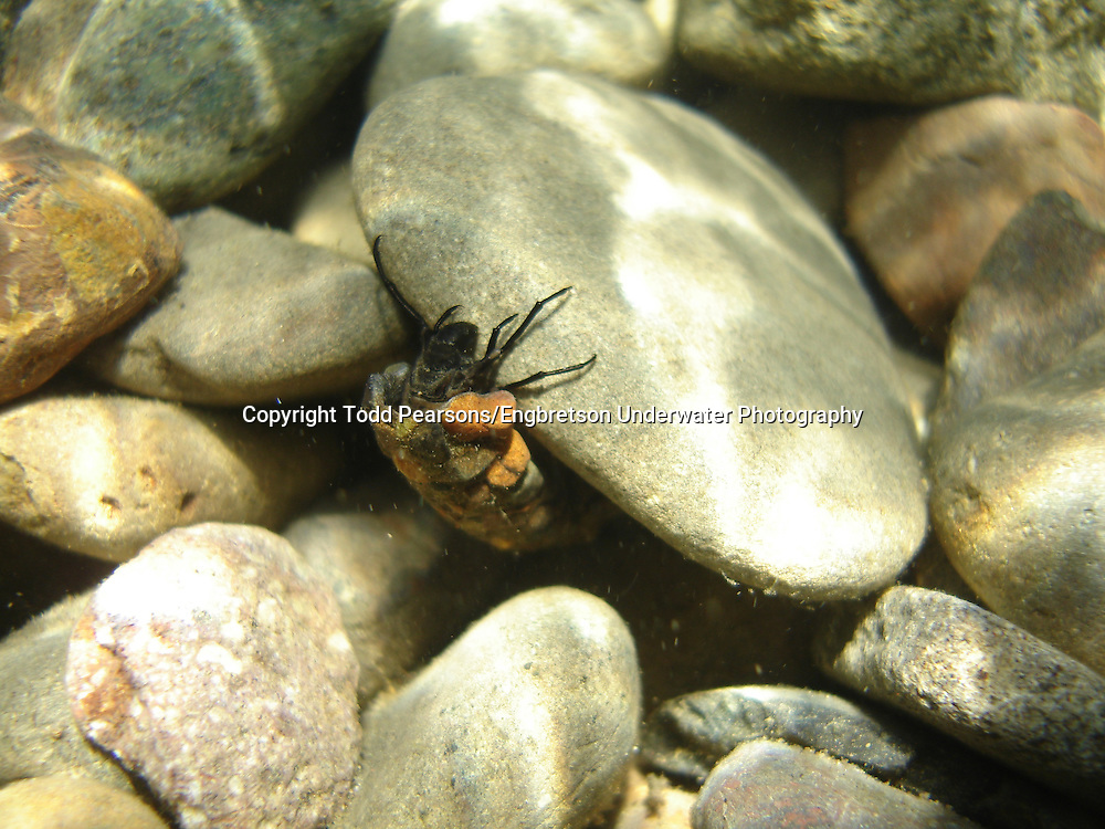 Caddis Fly<br /> <br /> Todd Pearsons/Engbretson Underwater Photography