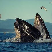 Humpback whales (Megaptera novaeanglia) cooperative feeding using a bubble net), Morris Reef, Point Hayes, Chatham Strait, Southeast Alaska, USA.<br />