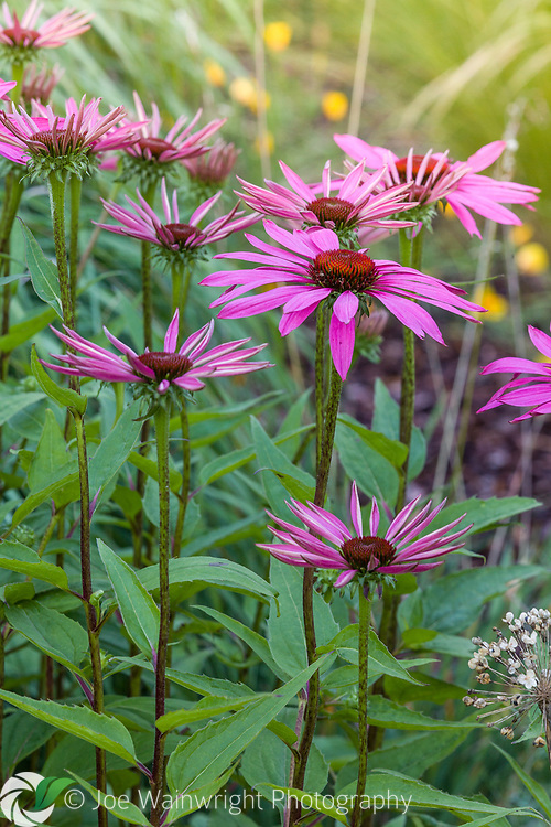 Echinacea purpureas in a herbaceous border at Bluebell Cottage Gardens, Cheshire, designed by Sue Beesley. Photographed in July