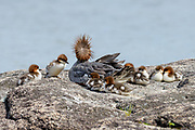 Common Merganser with ducklings photographed on Jordan Pond, Acadia National Park, Maine