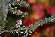 01471-00616 Yellow-rumped Warbler (Dendroica coronata) in fall, Marion Co., IL