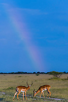 Herd of impala with rainbow in background, Nxai Pan National Park, Botswana.