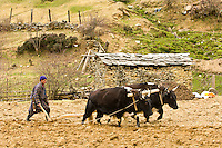 Oxen plowing potato fields, Ura Valley, Bumthang Valley,