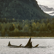 "Based on differences in their lifestyles and food preferences, orcas are characterised as ""resident"" and ""transient"". These are transient orcas that were probably hunting for seals up in the glacial inlets of Glacier Bay. Transient orcas generally form smaller and more variable social groupings than residents, roam over a larger area of the coastal waters, and their appearance in particular places is not so predictable. They feed primarily on sea mammals such as seals and sea lions. The name ""killer whale"" probably stems from observations of transient orcas hunting.<br />