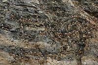 Black-legged kittiwake colony / Rissa tridactyla<br /> Bird cliffs, Alkehornet<br /> Svalbard<br /> Norway