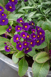 Primula 'Pheasant Eye' in a shallow metal container.