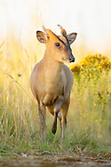 Chinese Muntjac (Muntiacus reevesi) introduced species, male on farm track, Norfolk, UK.