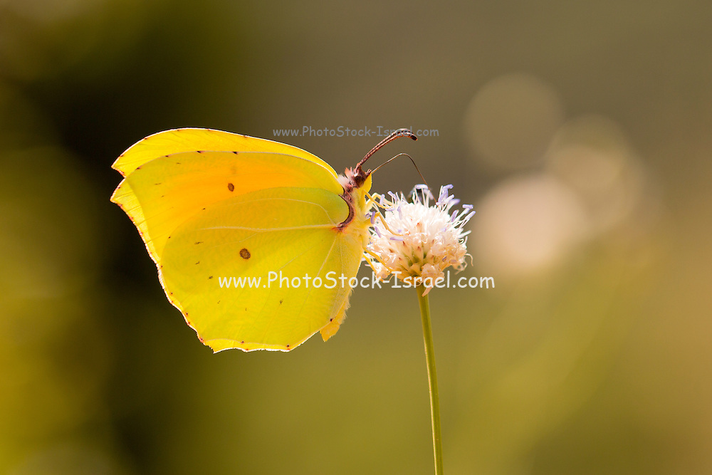 Gonepteryx rhamni (known as the common brimstone or in the past as butter-coloured fly and hence butterfly) a medium sized butterfly of the family Pieridae that is native to the Mediterranean region. Photographed in Israel in April, Spring