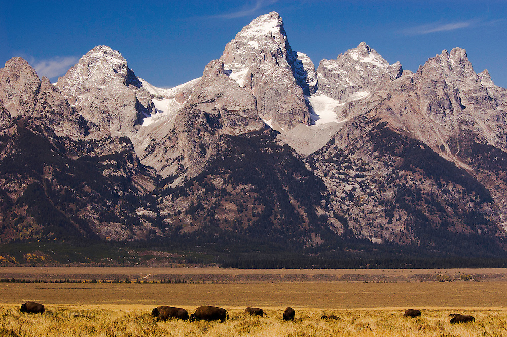 USA, Grand Teton National Park (WY)<br /> Bison (Bison bison) grazing on a pasture at Antelope Flats with the Teton Range (13770 ft/4198 mt) as a backdrop