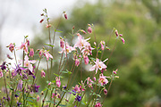 "Aquilegia vulgaris (European columbine, common columbine, granny's nightcap, granny's bonnet) is a species of columbine native to Europe. It is a flowering herbaceous perennial plant growing to 1.2 m tall, with branched, thinly hairy stems. The leaves are biternate; each leaf has three groups of three leaflets. The flowers, in various shades of purple, blue, pink and white, are pendent or horizontal with hooked spurs, and appear in early summer. The Latin specific epithet vulgaris means ""common"". The plant is a member of the poisonous Ranunculus family and all parts of the plant, including the seeds, are poisonous if ingested. The acute toxicity test in mice showed that ethanol extract and the main flavonoid compound isocytisoside from the leaves and stems of Aquilegia vulgaris can be classified as nontoxic since a dose of 3000 mg/kg did not cause mortality in mice.  In traditional herbalism columbine was considered sacred to Venus; carrying a posy of it was said to arouse the affections of a loved one. Nicholas Culpeper recommended the seeds taken in wine to speed the process of childbirth. In modern herbal medicine it is used as an astringent and diuretic. (W)"
