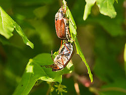 Two cockchafer on green leaf