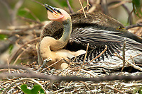 Anhinga  chick in nest Wakodahatchee Wetlands Delray Beach Florida USA