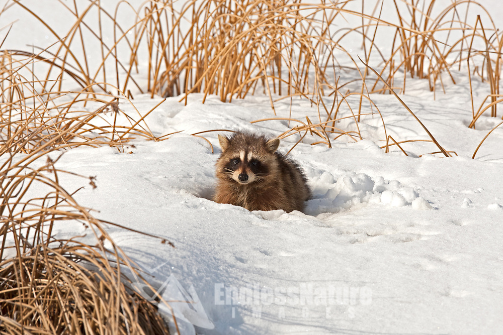 A Raccoon rests in one of the marshes at the Bear River Bird Refuge in northern Utah.