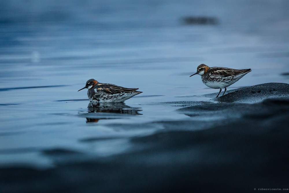 Red-necked Phalarope. Osar, Iceland