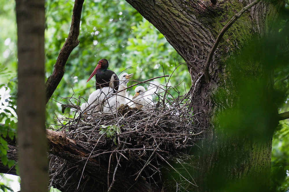 Black Stork at nest, Ciconia nigra, Slovakia, Europe, Schwarzstorch am Nest, Ciconia nigra, Slowakei, Europa