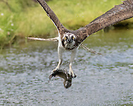 Osprey flies up from pond with a trout, © 2015 David A. Ponton